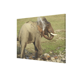 Indian / Asian Elephant spraying water,Corbett Stretched Canvas Prints
