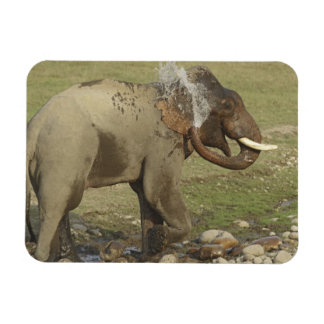 Indian / Asian Elephant spraying water,Corbett Magnet
