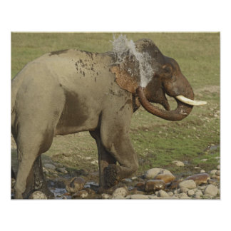 Indian / Asian Elephant spraying water,Corbett Poster