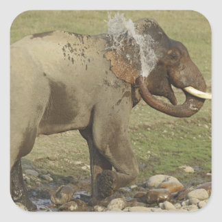 Indian / Asian Elephant spraying water,Corbett Square Sticker