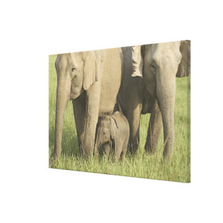 Indian / Asian Elephants and young one,Corbett Stretched Canvas Prints