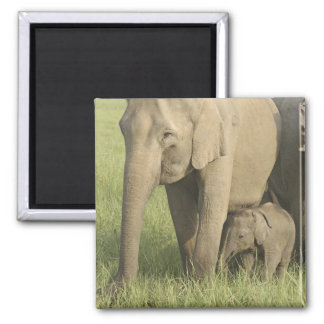 Indian / Asian Elephants and young one,Corbett Magnet