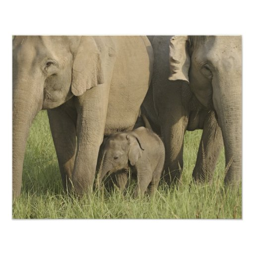 Indian / Asian Elephants and young one,Corbett Poster