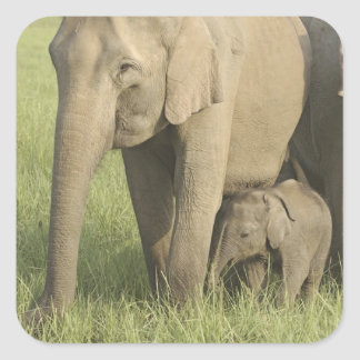 Indian Asian Elephants and young one Corbett Square Sticker