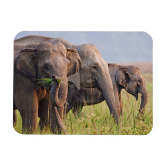 Indian Asian Elephants displaying grass Magnet