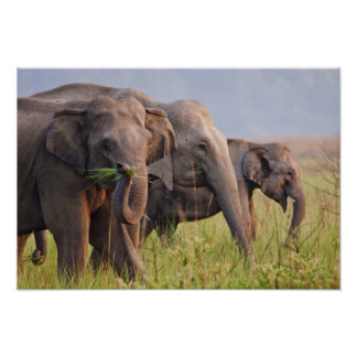 Indian Asian Elephants displaying grass Poster