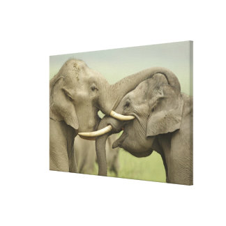 Indian / Asian Elephants play fighting,Corbett 2 Stretched Canvas Prints