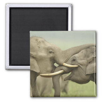 Indian / Asian Elephants play fighting,Corbett 2 Magnet