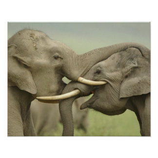 Indian / Asian Elephants play fighting,Corbett 2 Poster