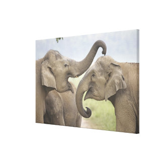 Indian / Asian Elephants play fighting,Corbett 3 Canvas Prints
