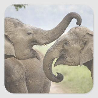 Indian Asian Elephants play fighting Corbett 3 Stickers