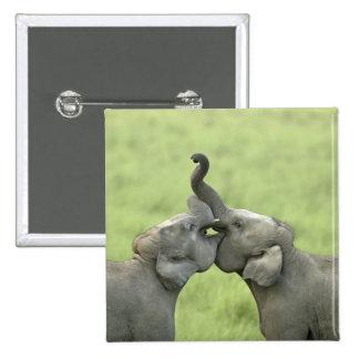 Indian / Asian Elephants play fighting;Corbett Button