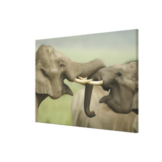 Indian / Asian Elephants play fighting,Corbett Gallery Wrapped Canvas