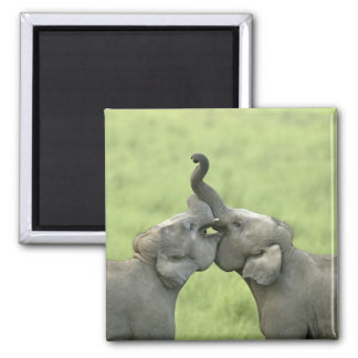 Indian / Asian Elephants play fighting;Corbett Magnet