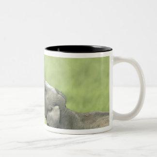 Indian / Asian Elephants play fighting;Corbett Two-Tone Coffee Mug