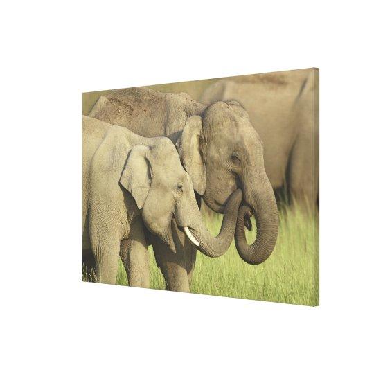 Indian / Asian Elephants sharing a Canvas Print