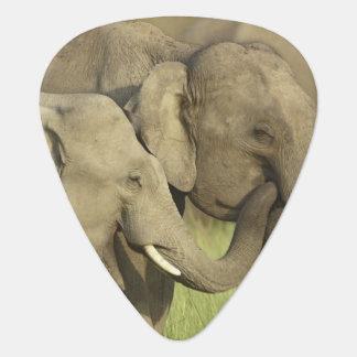 Indian / Asian Elephants sharing a Guitar Pick