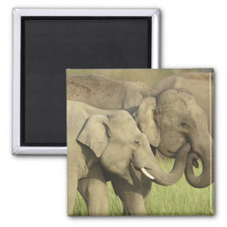 Indian / Asian Elephants sharing a Magnet