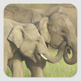 Indian / Asian Elephants sharing a Square Sticker