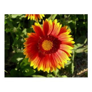 Indian blanket flower postcard