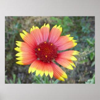 Indian Blanket Flower Poster