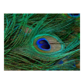 Indian Blue Peacock Feather Poster Print
