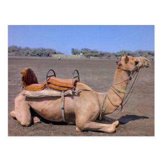 Indian Camel In Gujarat, India Postcard