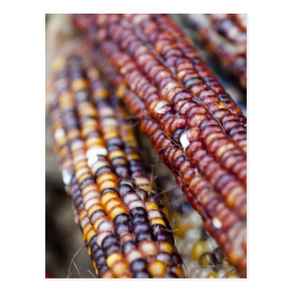 Indian Corn at the Union Square Greenmarket, New Y Postcard