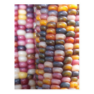 Indian Corn Postcard