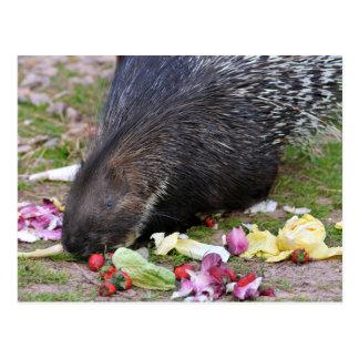 Indian Crested Porcupine eating vegetables Postcard