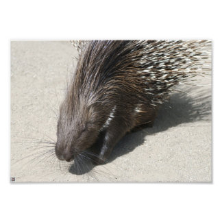 Indian Crested Porcupine Art Photo