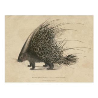 Indian Crested Porcupine Postcard