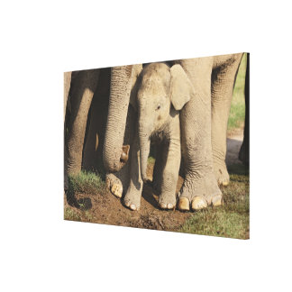 Indian Elephant calf,Corbett National Park, Gallery Wrapped Canvas