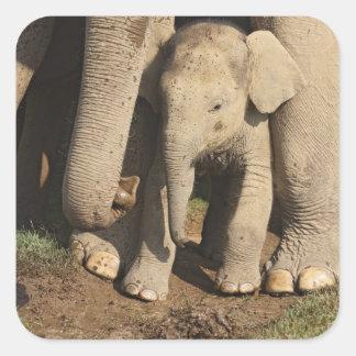 Indian Elephant calf Corbett National Park Square Stickers