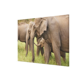 Indian Elephant calf playing with adults,Corbett Stretched Canvas Prints