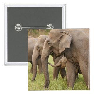 Indian Elephant calf playing with adults,Corbett Pinback Button