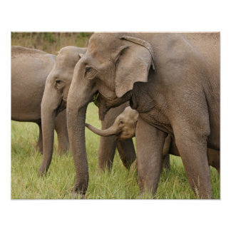 Indian Elephant calf playing with adults,Corbett Poster