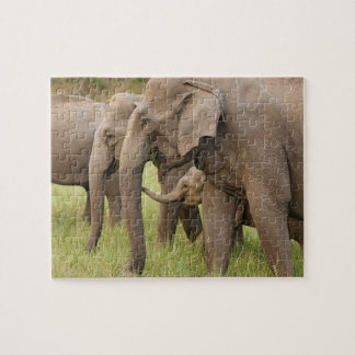 Indian Elephant calf playing with adults,Corbett Puzzle