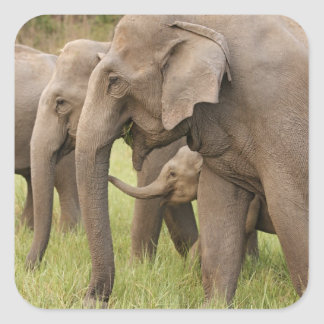 Indian Elephant calf playing with adults Corbett Square Stickers