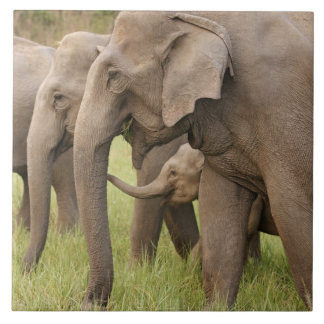 Indian Elephant calf playing with adults,Corbett Tiles