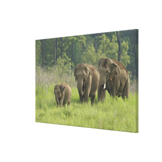 Indian Elephant family coming out of Canvas Prints
