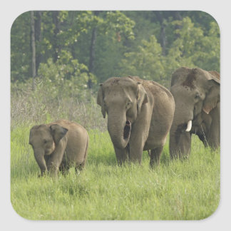 Indian Elephant family coming out of Square Sticker