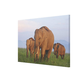 Indian Elephants in the grassland,Corbett Stretched Canvas Prints