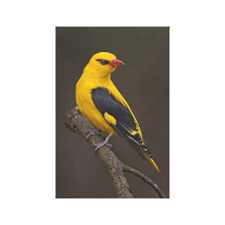 Indian Golden Oriole Canvas Print