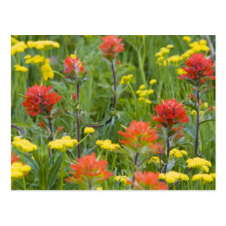 Indian paintbrush and biscuitroot wildflowers post cards