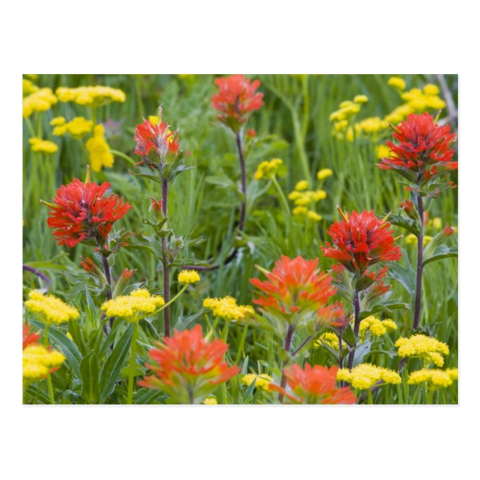 Indian paintbrush and biscuitroot wildflowers postcard