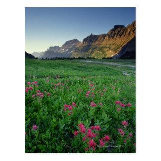Indian paintbrush at Logan Pass , Glacier Postcard