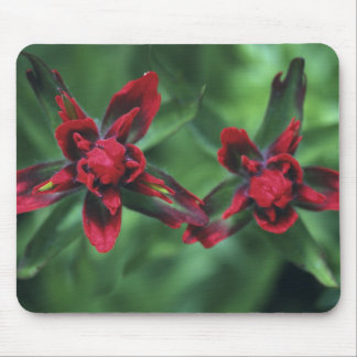 Indian Paintbrush, Banff NP, Alberta, Canada 2 Mouse Pad