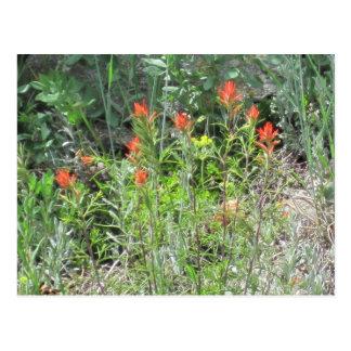 Indian Paintbrush Colorado Wild Flowers Postcard