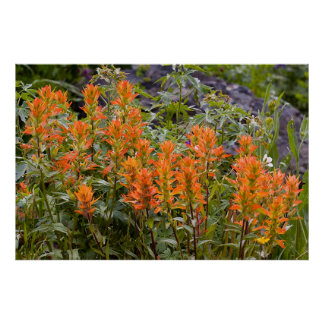 Indian Paintbrush Patch Poster